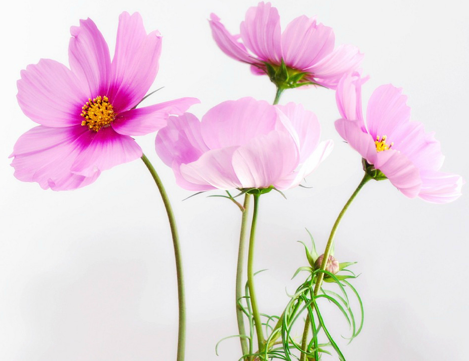 cosmea-flower-blossom-bloom-40722